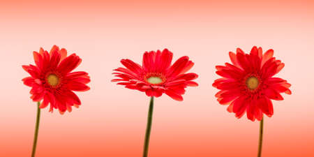 Three red daisies (gerbera) flowers on red background