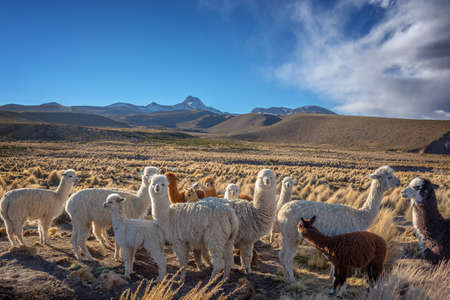 Herd of curious alpacas in Bolivia 免版税图像
