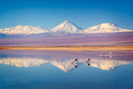 Snowy Licancabur volcano in Andes montains reflecting in the wate of Laguna Chaxa with Andean flamingos, Atacama salar, Chile Reklamní fotografie