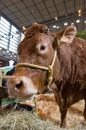 Close up of a cow at the Salon the lAgriculture (agricultural show) in Paris, France at springtime Banco de Imagens