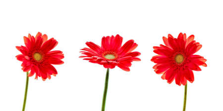 Three red daisies (gerbera) flowers isolated on white