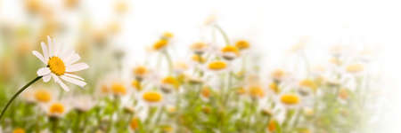 Daisy field on white background, panoramic spring web banner Stockfoto