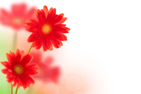 Red gerbera flowers on white background with copy space Banco de Imagens