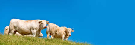 Panorama of white cows on a hill, blue sky background
