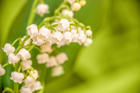 Lily of the valley flower close up, green nature background. May 1st, Labor Day symbol