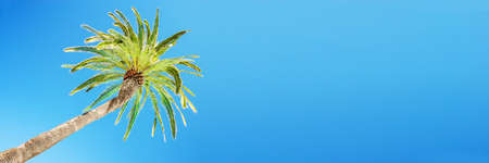 Looking up at leaning palm tree against blue sky, view from below, tropical travel and tourism panoramic background Stock Photo