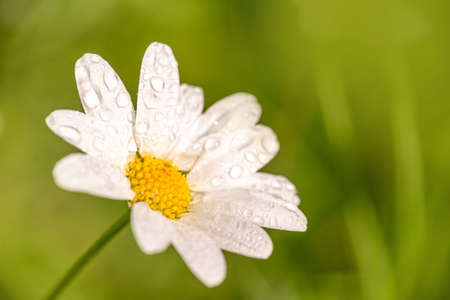 Close up of a daisy with dew drops, green background, spring concept