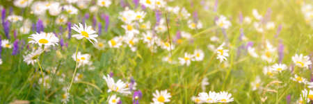 Sunshine on a field of daisy and wiild flowers, spring and summer nature panoramic background
