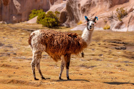 Portrait of a llama looking at the camera in Bolivia, South America