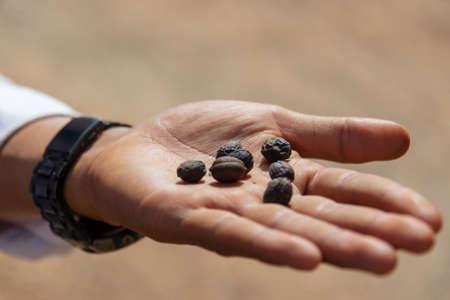 Hand holding sundried coffee beans, in Burma Myanmar