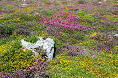 Pink heather flowers and yellow broom in the moor in Brittany, France