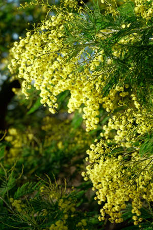 Close up of yellow mimosa flower
