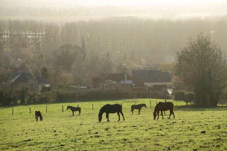 Horses grazing in a field in winter in Normandy, France