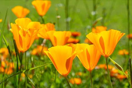 California poppies bloom in spring Stock Photo