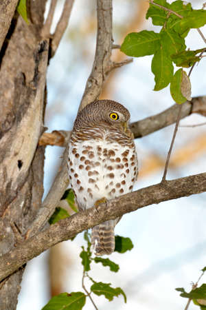 African Barred Owlet photo