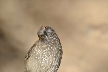 marked: Arrow Marked babbler tilting head