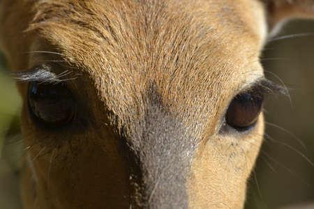 ewe: Bushbuck ewe close up of eyes