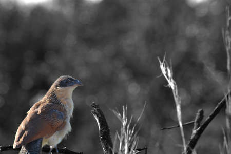 burchell: Burchell s coucal, black and white bird in colour Stock Photo