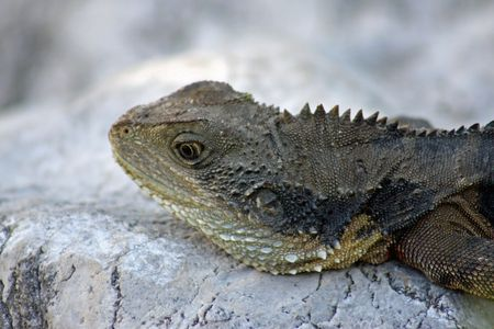 timeout: Australian Bearded Dragon LIzard - Timeout Stock Photo