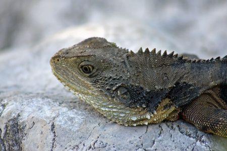 bearded dragon lizard: Australian Bearded Dragon LIzard - Timeout Stock Photo