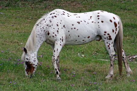 appaloosa: The painted Appaloosa horse