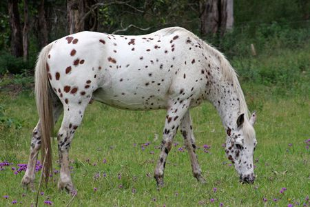 nostril: Appaloosa - horse of the Nez Perce American Indian Stock Photo