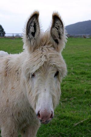 Cream coloured donkey Stock Photo - 3890726