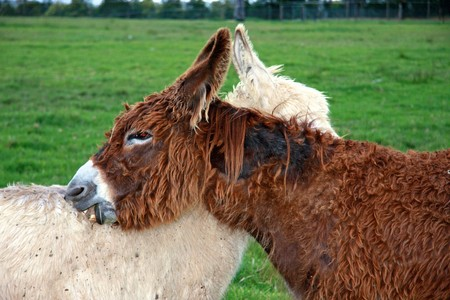 Two donkeys grooming eachother Stock Photo - 4016821