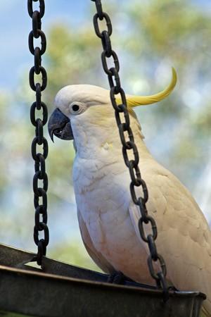 unafraid: Australian native Sulphur-Crested Cockatoo Stock Photo