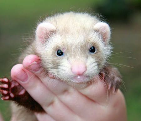 sable: 6 week old Siamese Sable ferret kit does the high five.
