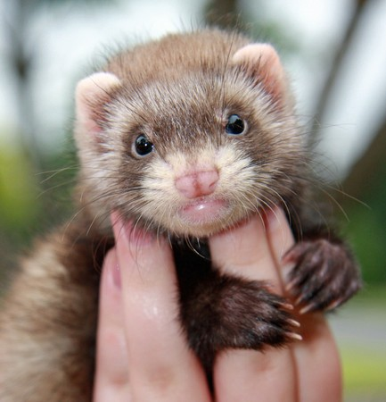 6 week old chocolate Ferret Kit gripping fingers