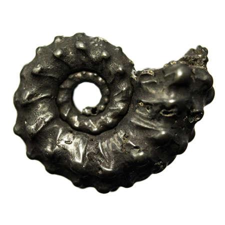Natural Ammonite petrified shell on white background