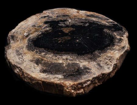 Cut polished petrified wood on black background isolated