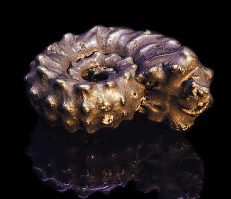 Small natural fossilized ammonite shell on black background with reflection