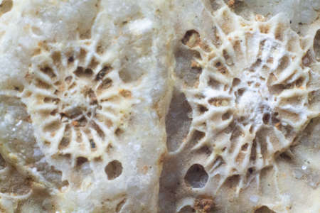 Natural fossilized coral shell close up texture