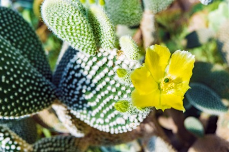 Flowering green cactus with yellow flowers. Background Cactus opuntia microdasys. Close up