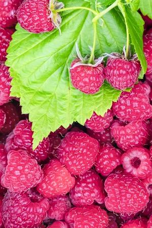 Fresh raspberry berries with green leaves. Crimson background. Fresh raspberry crop