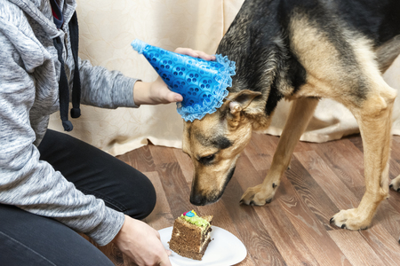 The owner of the dog treats a big dog with a piece of cake