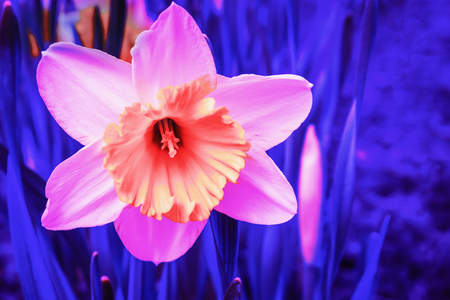 Abstract pink Narcissus flower in blue neon light.