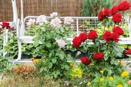 Kwiaty na podwórku. Kwitną krzewy róż. Kwiaty na tle białej huśtawki