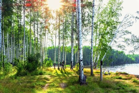 Sunlight in a birch grove. The sunrise in a birch forest on the banks of the river