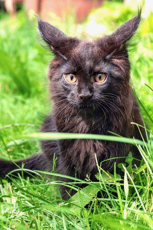 A little black Maine Coon kitten sits on green grass
