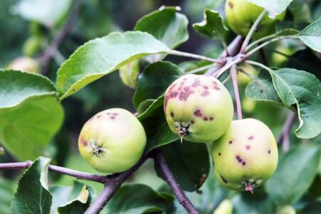 Apples in the garden covered with spots. Disease of Apple trees