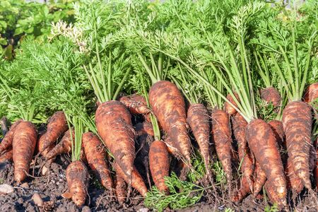 Harvest carrots. Background of carrots laying on the ground 写真素材