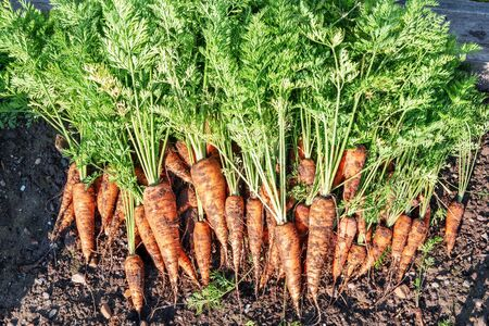 Harvest carrots. Carrots in the ground in the garden