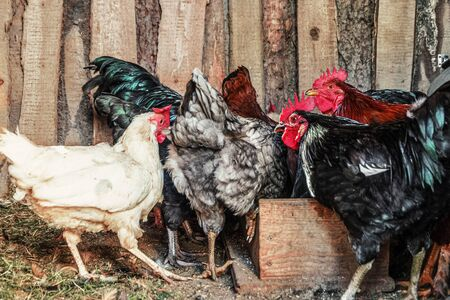 Chickens and roosters in the shed on the farm Stok Fotoğraf