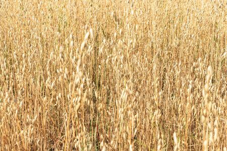 Oat field. The background of yellow oats