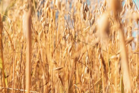 Oat field. The background of yellow oats closeup