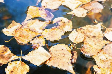 Yellow leaves in a puddle. Background of fallen autumn leaves