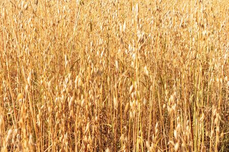 Yellow oats field background. Selective focus